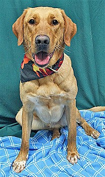 Chance the yellow lab mix