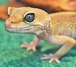 Doris the Gecko