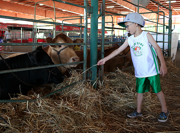 Kid feeding cow