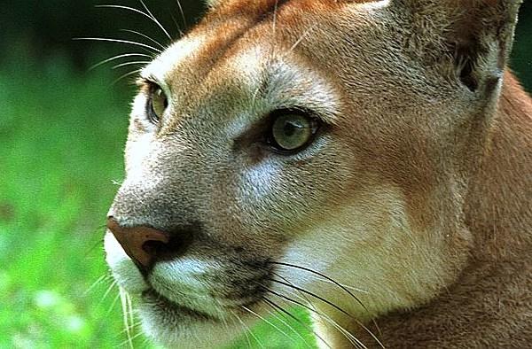 Cougars minneapolis