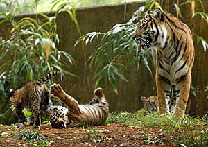Tiger Cubs Make Their Debut At National Zoo